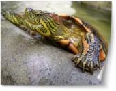 Broască ţestoasă evadând