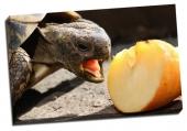 Broasca ţestoasă şi mărul