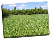 Culturi la câmpie